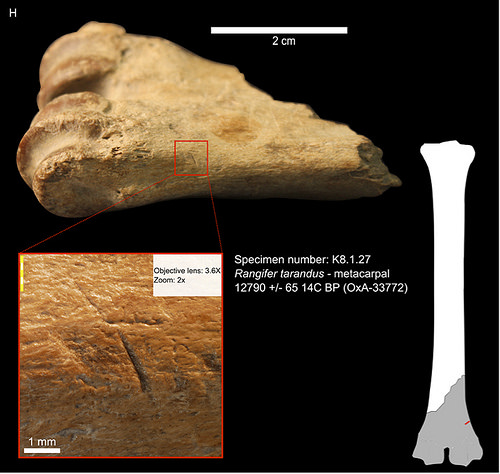 Caribou metacarpal from Cave I_cut-marks from stone tools indicate filleting